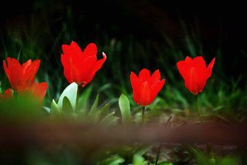 tulip nature spring