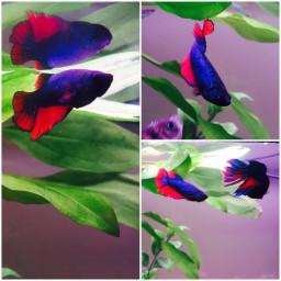 femalebetta fish fighterfish diyaquarium