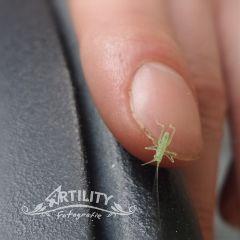 littlegrashopper