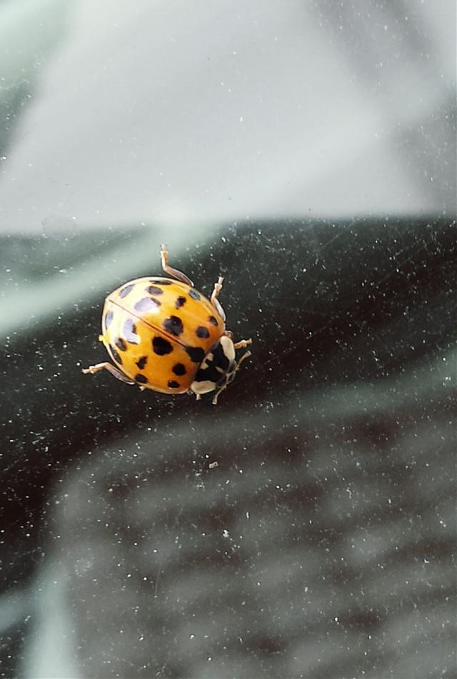 #ladybug #colorful #hdr #nature #photography #orange  #beutiful