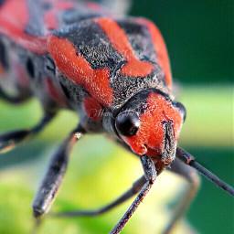 macro milkweedbug closeup